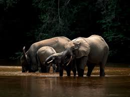 elephant car insurance number elegant global powers are about to unite to save africa s elephants
