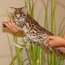 savannah cat nyah 1 picture f1