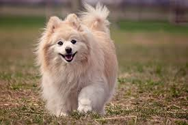 another fluff ball that shares an affection for the feline species is the pomeranian pom descended from large sled dog breeds the now tiny pom is
