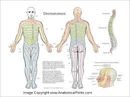 Dermatomes Nerve Poster
