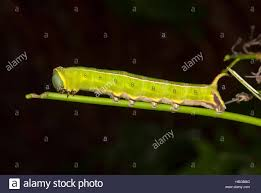 Australian Caterpillar Identification Chart Australian Caterpillars Stock Photos Australian