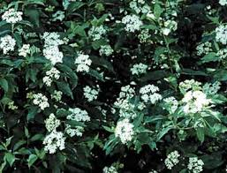 Image result for silky dogwood