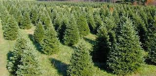 Christmas Tree Sale - Exchange Club of Madison, CT
