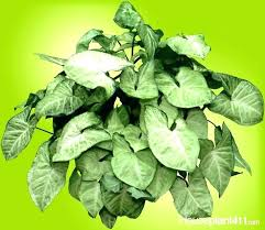 white mold on house plants how to make plant leaves greener shining green leaf house plants