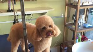 spoodle for teddy bear face wen s dog grooming salon in malvern