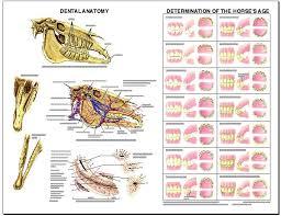 Equine Dental Anatomy Laminated Chart Lfa 2538