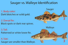Sauger Vs Walleye All You Need To Know