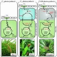 C3 C4 And Cam Plants Chart C3 Plants C4 Plants Cam