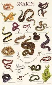 Snake Identification Chart Snakes Reptiles Education Poster 21x33 Reptiles Reptile