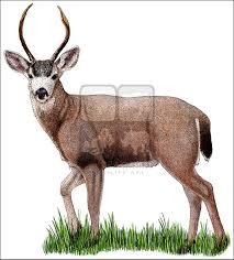 Black Tailed Deer Odocoileus Virginianus Line Art And Full Color