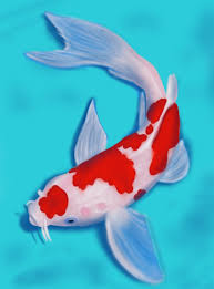 koi fish drawing.  Koi How To Draw A Koi Fish Throughout Drawing