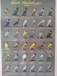Lovebird Color Mutations Chart Black Masked Lovebirds List Pet Birds Birds African
