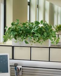 plants for office cubicle. Carefree Pothos Ivy Silk Planters At Petals Office Cubicle Plants For