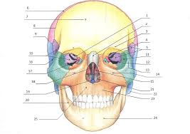 Cranial Anatomy Quiz at Best Anatomy And Physiology Learn