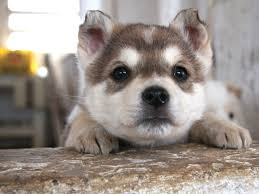 baby husky wallpaper.  Wallpaper HD Wallpaper  Background Image ID379694 With Baby Husky P