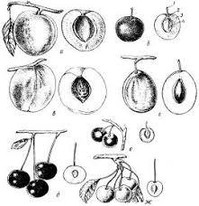 Реферат Потребительские свойства косточковых плодов ru После съема косточковые плоды плохо дозревают при хранении поэтому большинство этих плодов собирают в степени зрелости близкой к потребительской