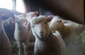 أغلى خروف في العالم أغلى من سيارة فيراري يبلغ من العمر 6 أشهر، 489 ألف  دولار - مهاجر