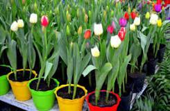 Resultado de imagen para cuando se siembran los bulbos de tulipanes