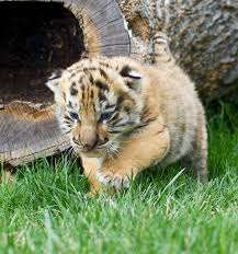cute baby tigers wallpapers. Perfect Wallpapers Little Tigers Images Baby Tigers HD Wallpaper And Background Photos In Cute Wallpapers L