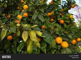 Orange Tree Bearing Fruit Set Image \u0026 Photo   Bigstock