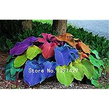 <b>100pcs</b> Hosta Seeds Perennials Plantain Lily Flower White <b>Lace</b> ...