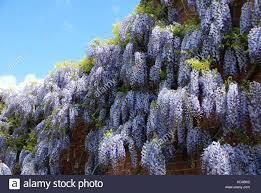 wisteria cascades of flowers stock image