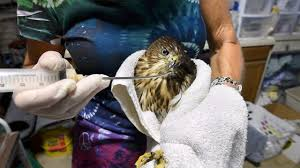 Wildlife rescue: She rehabs raptors in Pa., trains the next generation