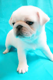 cute baby white pugs. Perfect Pugs Pugs Images Pug Wallpaper And Background Photos Inside Cute Baby White