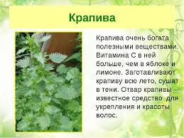 Презентация по окружающему миру Лекарственные растения  слайда 5 Крапива Крапива очень богата полезными веществами Витамина С в ней больше