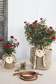blooming red drift rose pet sympathy gift