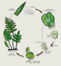 Venn Diagram Of Vascular And Nonvascular Plants Seeds Vs Seedless Plants Biology Socratic