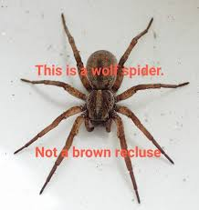 There Are No Brown Recluses In California Album On Imgur