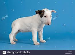 Light Box Terrier For Sale Bull Terrier Puppy 6 Weeks White With Markings Stock Photo