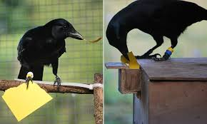 Crow Vending Machine Plans Mesmerizing Crows Can Make Tools From Memory And Will Improve On Own Designs