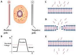 The Principle Of Electroporation Download Scientific Diagram