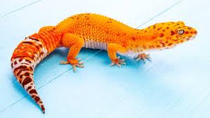 Leopard Gecko Morph Chart 6 Ways A Leopard Gecko Can Stand Out From The Crowd