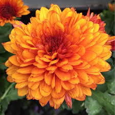 chrysanthemum x morifolium autumn glow bronze