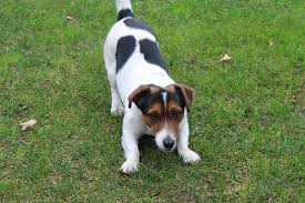 Growth Jack Russell Puppy Weight Chart Jack Russell