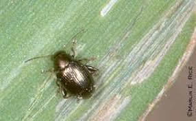 Corn Flea Beetle Leaf Feeders Radcliffes Ipm World Textbook