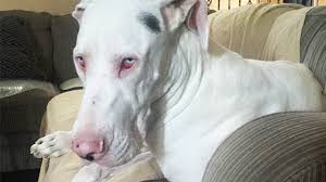 why are white coated dogs deaf