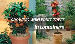 patio dwarf fruit trees for tight
