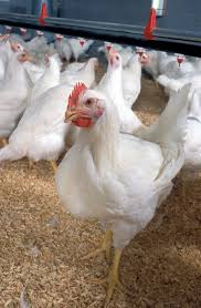 Chicken Breed Chart Pdf Broiler Wikipedia