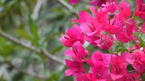 Paper Flower Video Beautiful Paper Flower Bougainvillea Red Stock Footage Video 100 Royalty Free 17008333 Shutterstock