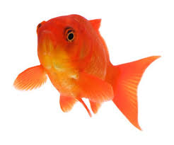 fantail fish. Interesting Fantail Fantail Goldfish Are Healthiest When They Get A Varied Diet To Fish 2