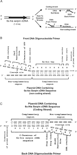 Subcloning Primer Design Gene Amplification By Pcr And Subcloning Into A Gfp Fusion