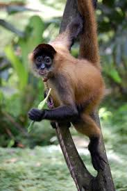 Black handed spider monkey sexual dimorphism