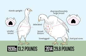 Yet for the traditional immigration countries like hongkong the biggest average body height for males is 1.84 m in the netherlands, the smallest women with just 1.51 m can be found in guatemala. Look How Much Bigger Thanksgiving Turkeys Are Today Than In The 1930s Mother Jones