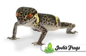 Leopard Gecko Age Chart Chinese Cave Gecko Husbandry And Care Joshs Frogs How To