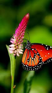 iPhone Wallpaper HD Butterfly