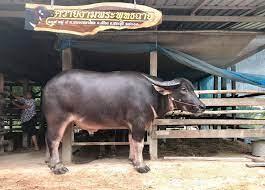 ฟาร์มควายงามพระพุทธฉาย สระบุรี - Home